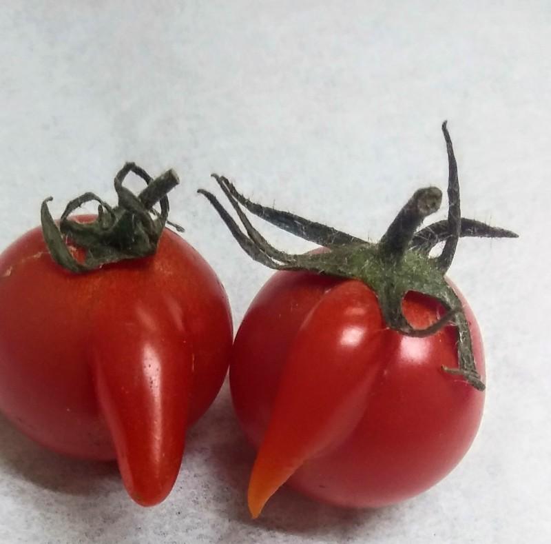 糸井 ゆかり|ゆかりのミニトマト♪