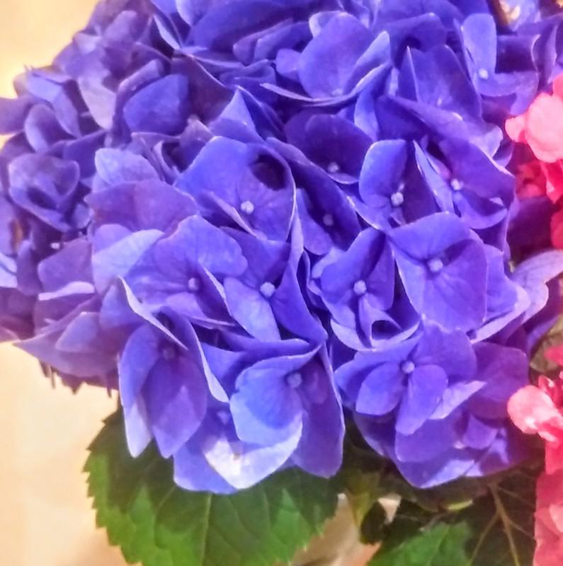 糸井 ゆかり ゆかりの紫陽花♪